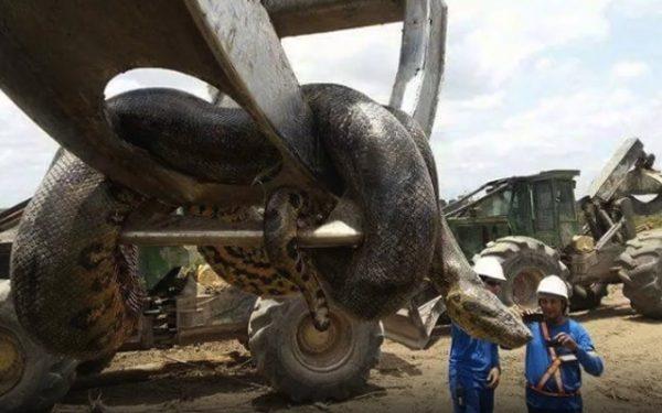 Será esta a maior cobra de sempre? Foi encontrada no Brasil