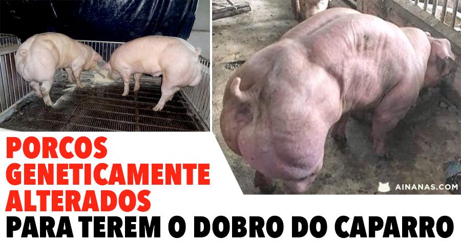 Porcos Geneticamente Alterados para TEREM O DOBRO DO CAPARRO