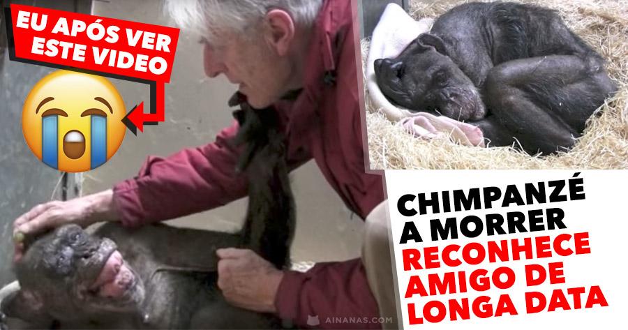 COMOVENTE: Chimpanzé a morrer reconhece amigo de longa data