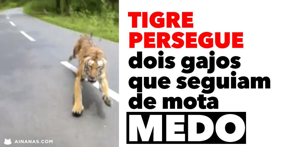 Tigre Persegue dois Gajos que Seguiam de Mota